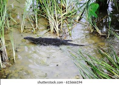Iguanian lizard hunting in the water