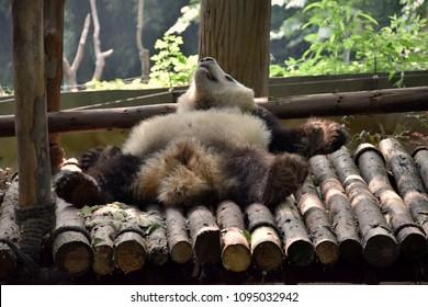 IImage of giant panda lying on its back.