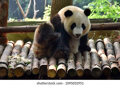 IImage of panda on the nature background.