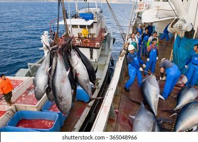 Ildiri, Cesme Turkey, 17/01/2014. Blue-fin tuna harvest in Eastern Mediterranean, Turkey.