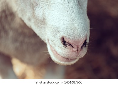 Sheep Nose Images, Stock Photos & Vectors   Shutterstock