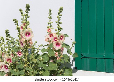 Ile de Ré - Hollyhocks and white house with green shutters