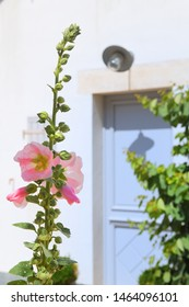 Ile de Re - Hollyhocks and white house with green shutters