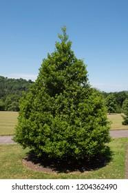 Ilex aquifolium ' Pyramidalis' (Holly Tree) in a Park in Rural Devon, England, UK