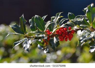 Ilex verticillata also known as winterberry and holly