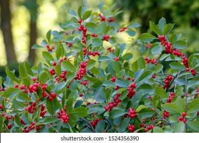 Ilex verticillata, the winterberry, is a species of holly native to eastern North America in the United States and southeast Canada, from Newfoundland west to Ontario and Minnesota, and south to Alaba