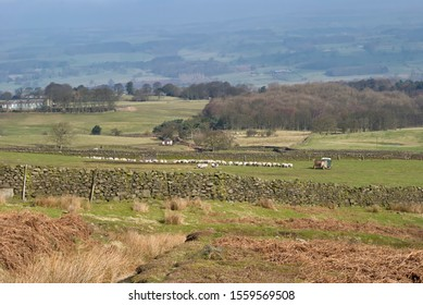 Ilkley, England - 4th March 2011: A Yorkshire Hill Farmer tending his sheep with a Landrover and trailer among the Drystone walled Fields of Ilkley Moor in West Yorkshire.