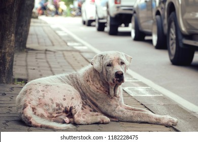 Ill with Leprosy sad poor stray dog lays down alone on the sidewalk. Suffer from Hansen's disease. Infection by the bacterium Mycobacterium leprae and Mycobacterium lepromatosis. Painful and homeless.
