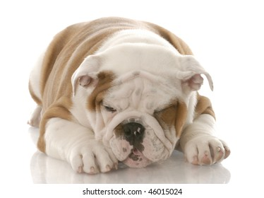 ill looking english bulldog puppy making a sickly face