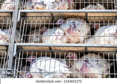 Ill, sick, sad alive turkeys transported to slaughterhouse in truck for Thanksgiving in crammed metal cages, showing animal cruelty