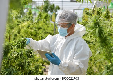 Illegal Cannabis Factory Green house, A close up of the marijuana farm industry.