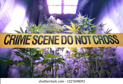 Illegal cannabis plantation inside a private grow box with police barrier with yellow tape inscription in English Crime Scene do not cross. Concept of illegal marijuana drug cultivation.