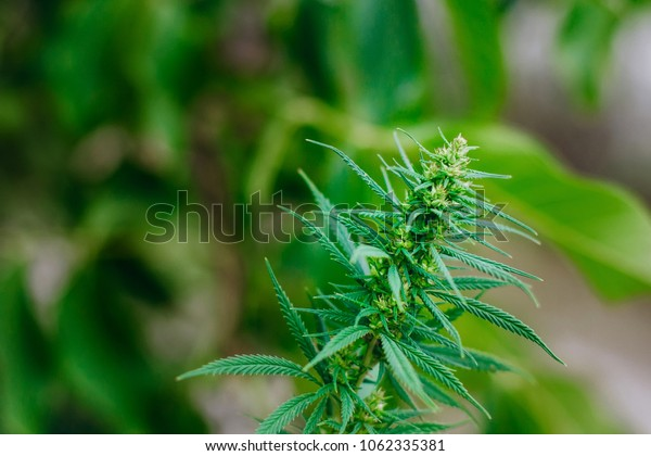 Illegal cultivation of wild cannabis. Plantation of green marijuana, hemp leaves. Thematic photo to treat patients and drugs against pain