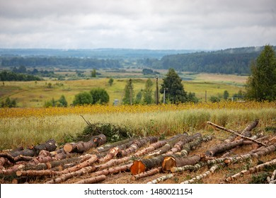 illegal felling of trees in the forest by poachers, bringing global warming and environmental disaster, harvest firewood and wood in large quantities, felled tree trunks lie in field during the day