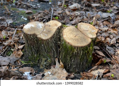 Illegal logging. Stump. Felled tree. Trees are felled. Tree trunk. Take care of nature.