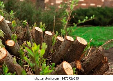 Illegal logging tree. Stump Felled tree. Сoncept of nature conservation issues.
