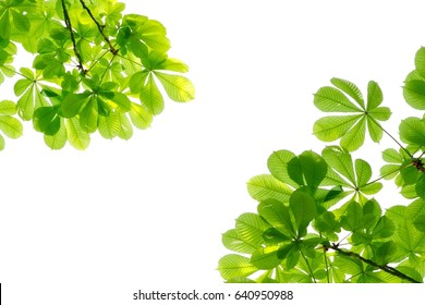 Illuminated chestnut leaves