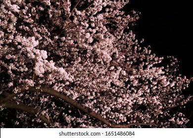 Illuminated night cherry blossom landscape