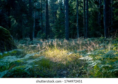 Illuminated patch of grassland with eagle ferns in the middle of the boreal coniferous forest. Pine tree trunks are visible in the shadow in the background. Boulder visible on the right lower corner.