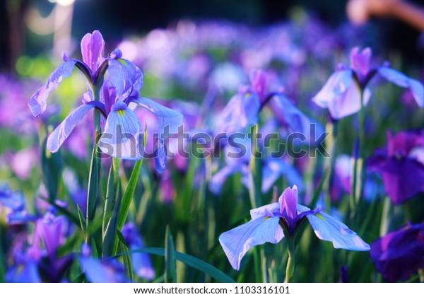 the illumination of japanese iris garden.