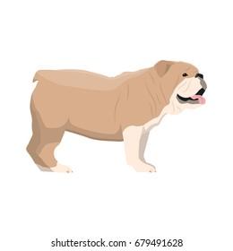 Illustration of Bulldog standing on white background.