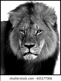 Illustration of Cecil the Lion with a poster effect filter added post photo in black & white.  Cecil was killed in July 2015 by hunters.