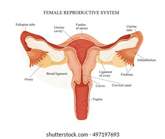 Female reproductive system images stock photos vectors shutterstock illustration of female reproductive system human anatomy ccuart Images