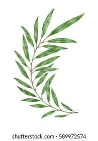 Illustration of a green branch isolated on white background. Watercolor botanical painting