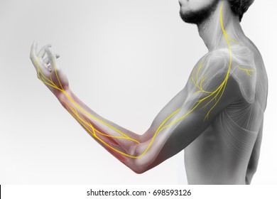 Illustration of the human arm anatomy representing nerves, bones and ligaments.