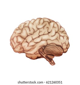 Illustration of a human brain on a white background