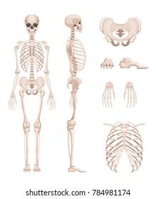 illustration of human skeleton in different sides. Bones of arms, legs. Skull and skeleton human anatomy