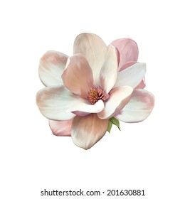 Illustration of a magnolia flower isolated on white background