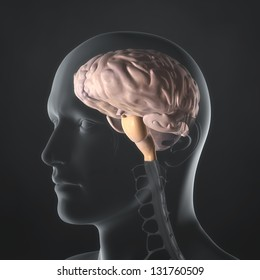 An Illustration of a man's anatomy showing the brain in an x-ray style