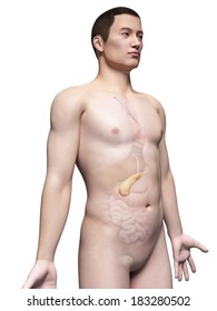 illustration of the pancreas of an asian male guy