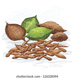 illustration of talisay fruit and nuts, scientific name - Terminalia catappa, isolated in white background.