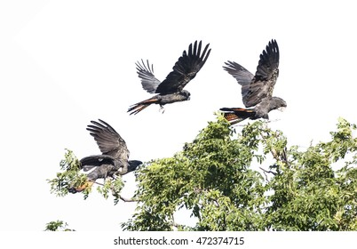 Illustration of three red-tailed cockatoos landing in tree