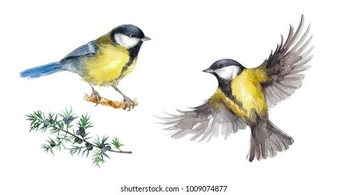 illustration with watercolor - image of two bigs tits and twigs of a juniper