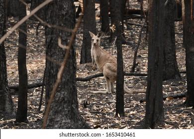 ILUKA, NSW / AUSTRALIA - NOVEMBER 29, 2020: KANGAROOS AFTER A BUSHFIRE
