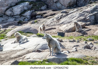 Ilulissat, Greenland - June 30, 2018: Sled dogs chained to the ground. Around 3,500 sled dogs live in Ilulissat.