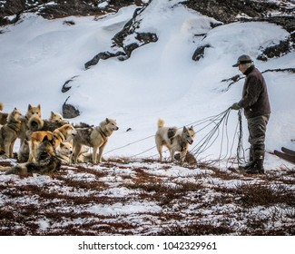 ILULISSAT, GREENLAND - Oct 2009: A Greenlandic man tethers a team of Greenland husky dogs in a snowy landscape near Ilulissat in West Greenland