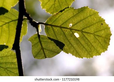 Blätter im Frühling Sommerfrische