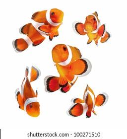 サンゴ礁の魚、カクレクマノミまたは白い背景で隔離のアネモネ魚