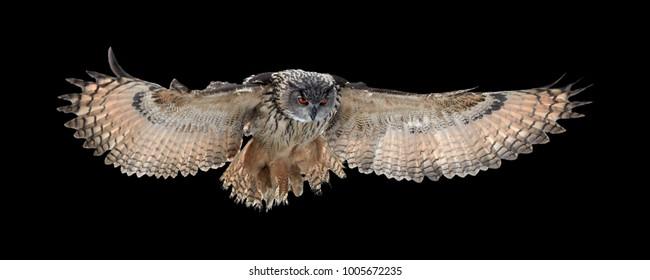 Aislado sobre fondo negro, búho real, Bubo bubo, búho gigante volando directamente a la cámara con las alas completamente extendidas. Búho con ojos de color naranja brillante. Ave rapaz nocturna a contraluz.