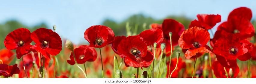 Nahaufnahme von roten Mohnblumen in einem Feld
