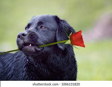 Valentines golden retriever dog with rose in his mouth