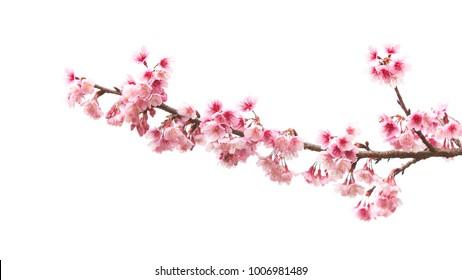 Schöne Kirschblütenblume in der Blüte mit Zweig lokalisiert auf weißem Hintergrund für Frühlingssaison