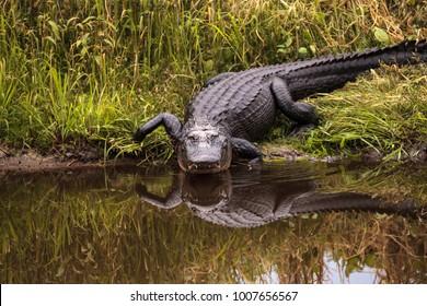 Großer bedrohlicher amerikanischer Alligator Alligator mississippiensis im Feuchtgebiet und im Sumpf am Myakka River State Park in Sarasota, Florida, USA