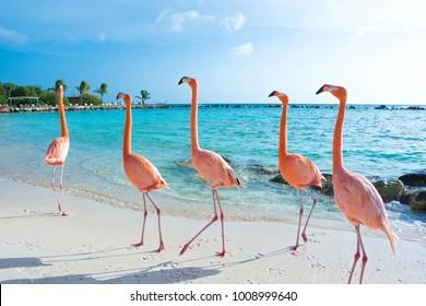 Rosa Flamingo, Insel Aruba