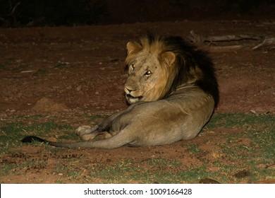 고요한 밤 공기 속에서 그의 부름에 따라, 우리는 아마도 그가 음식이나 짝을 사냥하러 가기 전에이 외로운 사자를 발견했고, 나는 그다지 화를 내지 않고 스피드 라이트로 그를 촬영할 수있었습니다.