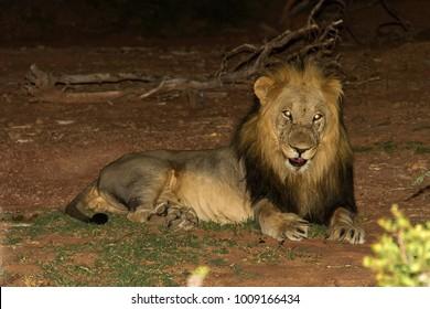 Verfolgt von seinen Anrufen in der stillen Nachtluft, fanden wir diesen einsamen Löwen, wahrscheinlich bevor er auf Nahrungssuche oder einen Partner ging, und ich schaffte es, ihn mit einem Speedlite ohne allzu große Aufregung zu fotografieren.